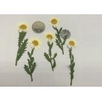 Wholesale Fashion Dried Pressed Flowers White Chrysanthemum / Stem For Leaf Vein Bookmark Gifts from china suppliers