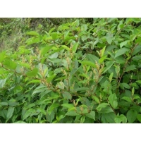 Wholesale CAS 501-36-0 98% Giant Knotweed Extract Powder from china suppliers