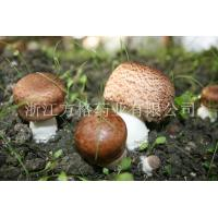 Wholesale Agaricus blazei extract 20%-40%,edible and medicinal mushroom,GMP/HACCPcertificate from china suppliers