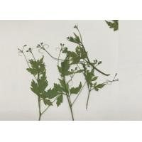 Wholesale Green Pressed Flower Artwork , Decoration Pea Plant Drying And Pressing Flowers from china suppliers