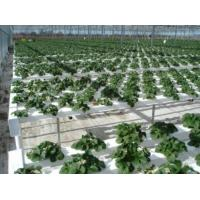 Wholesale Garden rubber tree--tissue culture plug plant from china suppliers