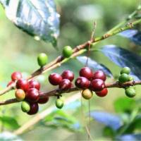Wholesale Sumatra Mandheling, Available in Green Bean, Roasted and Ground from china suppliers