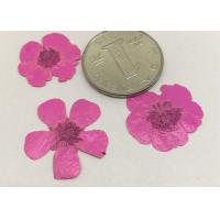 Wholesale Buttercup Dried Pink Flowers , Small Pressed Flowers For Plant Teaching Specimen from china suppliers