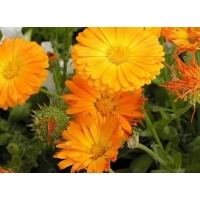 Wholesale 127-40-2 20.0% Lutein Marigold Extract Natural Herb Extract from china suppliers