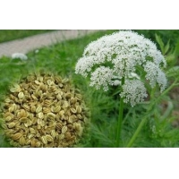 Wholesale CAS 484-12-8 Cnidium Monnieri Extract Natural Herb Extract from china suppliers