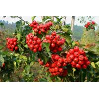 Wholesale Popular Herbal hawthorn leaf extract with flavone 5%-80% hawthorn leaf extract from china suppliers