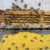 Wholesale 21kg/Carton Natural Pure Bee Pollen Bee Product local bee pollen from china suppliers