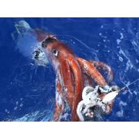 Wholesale Frozen squid ring from china suppliers