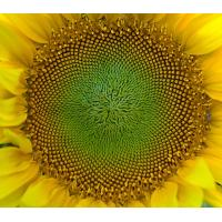 Wholesale Round Sunflower Seeds American type 5135 24/64 from china suppliers