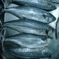 Wholesale Spanish Mackerel from china suppliers