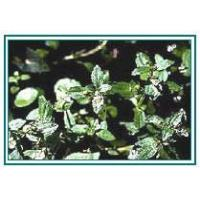 Wholesale Bacopa Monniera from china suppliers