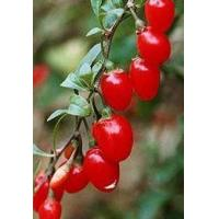 Wholesale Fructus lycii from china suppliers