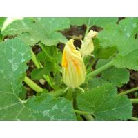 Wholesale Vegetables Squash from china suppliers