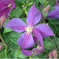 Climbers Clematis Star Of India