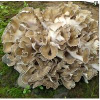 Wholesale Plant&Herb Extract Maitake Mushroom Extract from china suppliers
