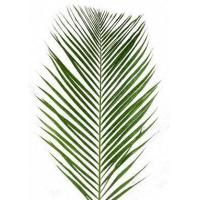 China Areca Palm XL 4 to 5 Foot by the stem (Date Palm) wholesale