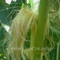 Wholesale High Quality Corn Silk Extract from china suppliers
