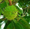 Chestnuts extract