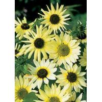 Wholesale Sunflowers Vanilla Ice from china suppliers