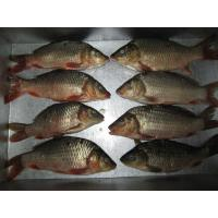 Wholesale Carp from china suppliers