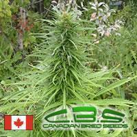 Canadian Bred Seeds Early Sativa -Outdoor
