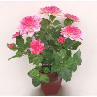 Wholesale potted flowers PDL5501-03 from china suppliers